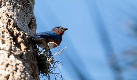 Eastern bluebird Sialia sialis perches on a pine tree in Naples, Florida