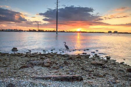 Tall Great blue heron Ardea herodias stands in front of a sunset on Marco Island