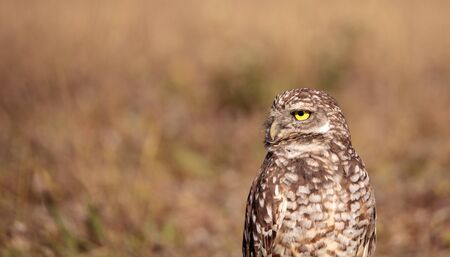 Burrowing owl Athene cunicularia perched outside its burrow on Marco Island Foto de archivo