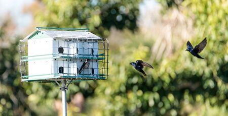Purple martin birds Progne subis fly and perch around a birdhouse in Marco Island, Florida