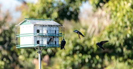 Purple martin birds Progne subis fly and perch around a birdhouse in Marco Island, Florida