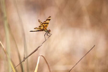Halloween pennant dragonfly Celithemis eponina perches on tall grass in Marco Island, Florida