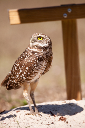 Burrowing owl Athene cunicularia perched outside its burrow on Marco Island, Florida Stock Photo