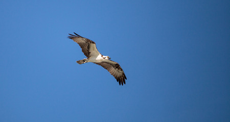 Osprey bird of prey Pandion haliaetus flying across a blue sky over Clam pass in Naples, Florida in the morning.
