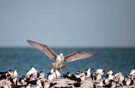 Herring gull Larus argentatus on the beach at Clam Pass among black skimmer terns in Naples, Florida 免版税图像
