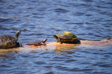 Softshell turtle Apalone ferox  sits on a log with a Florida red bellied turtle Pseudemys nelsoni on a long in a pond in Naples, Florida