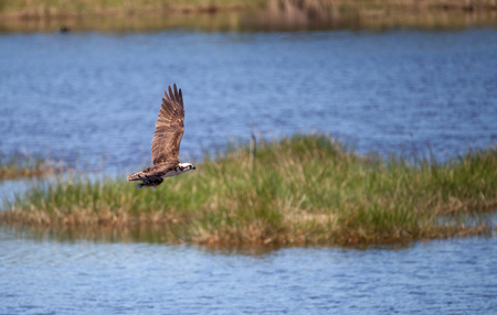 Flying osprey Pandion haliaetus bird clutching a fish as it soars through a blue sky in Naples, Florida Stock Photo