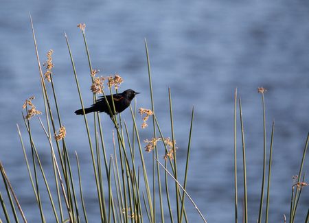 Male red winged blackbird Agelaius phoeniceus perches in a swamp in Naples, Florida