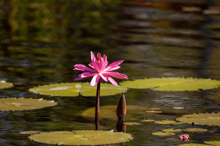 Pink red Water lily Nymphaeaceae blossoms among lily pads on a pond in Naples, Florida