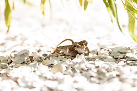 Two Brown Anole lizards Anolis sagrei mate in southeast Florida on white gravel.