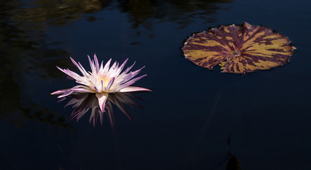 Pale Purple Water lily Nymphaeaceae blossoms among lily pads on a pond in Naples, Florida Stock Photo