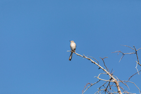 Northern Mockingbird Mimus polyglottos perches on a tree in a garden in Naples, Florida
