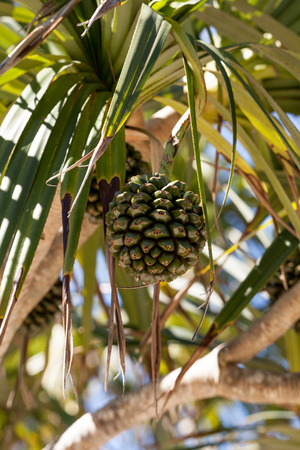 Screw pine fruit Pandanus utilis grows on a tree in southeastern Florida but can also be found in Madagascar