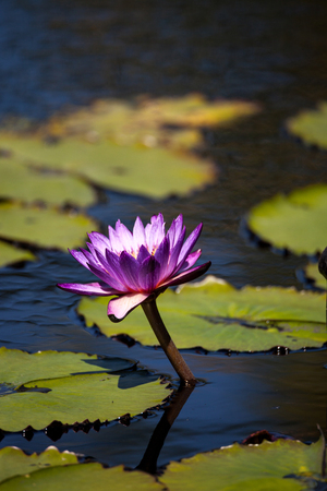 Blue Star Water lily Nymphaea nouchali blossoms among lily pads on a pond in Naples, Florida Stock Photo