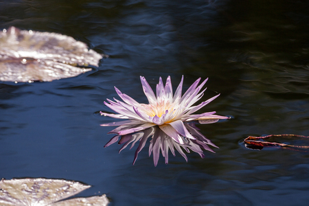 Pale Purple Water lily Nymphaeaceae blossoms among lily pads on a pond Stock Photo