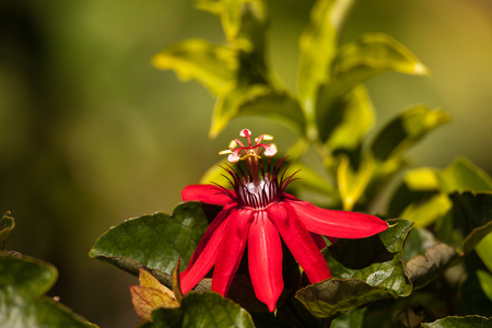 Scarlet flame red passionflower called Passiflora miniata blooms on a vine