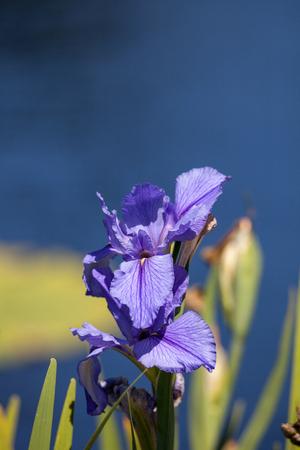 Large purple Bearded Iris Iris germanica flower blooms in a water garden in Naples, Florida