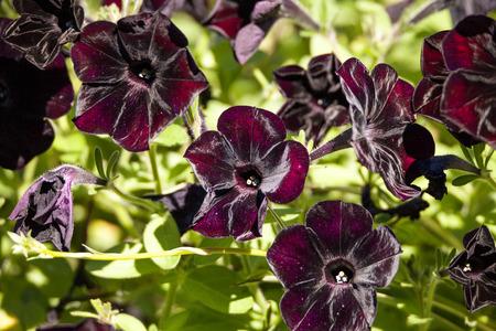 Black velvet petunia called Petunia x hybrid grows in a pot in a garden in Naples, Florida