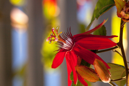 Scarlet flame red passionflower called Passiflora miniata blooms on a vine in Southern Florida Banque d'images