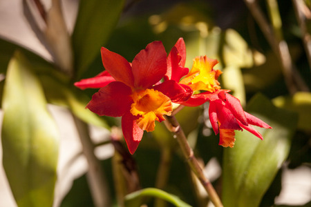 Orange and yellow bamboo orchid flower called Arundina graminifolia is often found in Malaysia and the Himalayas.