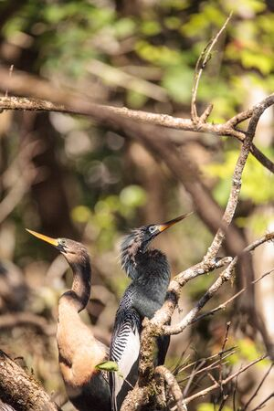 Courting Anhingas bird called Anhinga anhinga and snakebird in the Corkscrew Swamp Sanctuary in Naples, Florida Stock Photo