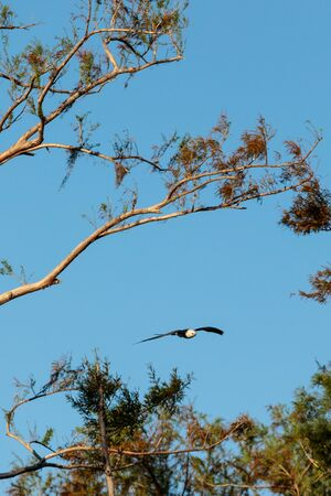Swallow-tailed kite collects Spanish moss to build a nest in the Corkscrew Swamp Sanctuary of Naples, Florida