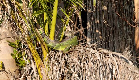 Green iguana stretches out under a palm tree not far from where a bird nest in Naples, Florida
