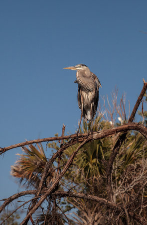 Great blue heron Ardea herodias looks out over the ocean at Delnor-Wiggins Pass State Park in Naples, Florida