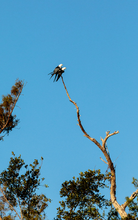 Two Swallow-tailed kite birds mate on top of a dead tree in the Corkscrew Swamp Sanctuary of Naples, Florida