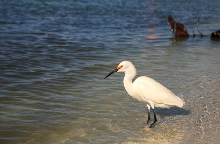 Snowy egret Egretta thula bird hunts for fish in the ocean at Delnor-Wiggins Pass State Park in Naples, Florida