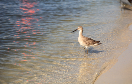Willet shorebird Tringa semipalmata along the shore of Clam Pass in Naples, Florida in the morning.