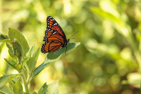 Monarch butterfly Danaus plexippus on a milk weed in the CREW Bird Rookery in Naples, Florida