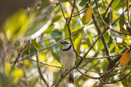 Blue jay bird Cyanocitta cristata perches in a mangrove forest near a river in Naples, Florida