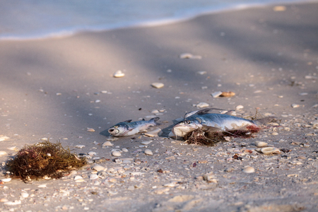 Red tide causes fish to wash up dead on Delnor-Wiggins Pass State Park beach in Naples, Florida