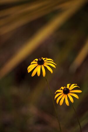 Gloriosa Daisy black-eyed susan flower blooming in the woods in Immokalee, Florida Stok Fotoğraf
