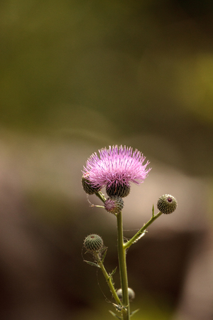 Pink flower of a thistle plant Carduus horridulum blooming in the woods in Immokalee, Florida