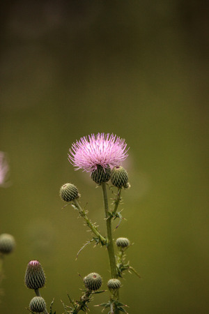 Spiky Purple thistle flower Carduus horridulum grows in a marsh in Naples, Florida Stock Photo