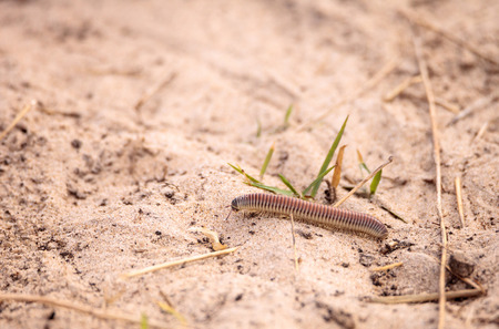 Yellow banded millipede Anadenobolus monilicornis crawls along the sand of a grass field in Naples, Florida