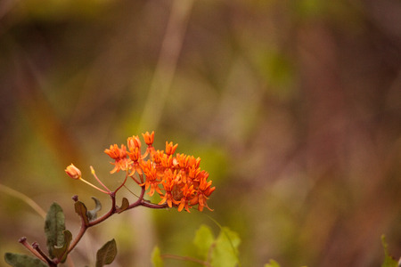 Orange flowers of butterfly weed Asclepias tuberosa grows in a marsh in Naples, Florida