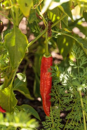 Cheyenne pepper hybrid in an organic vegetable garden in Naples, Florida