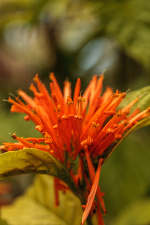 Orange Mexican honeysuckle Justicia sidicaro flower blooms in a garden in Naples, Florida 写真素材