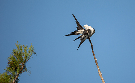 Swallow-tailed kite perches high in a tree and preens his feathers in the Corkscrew Swamp Sanctuary of Naples, Florida
