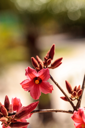 Kurrajong hybrid pink flower Brachychiton discolor x bidwillii blooms in a garden in Naples, Florida