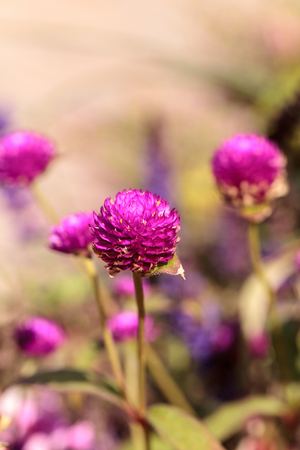 Gomphrena globosa Purple flower blooms in a garden in Naples, Florida