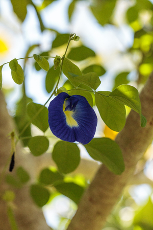 Blue flowers of Krishna's butter cup Ficus benghalensis var. krishnae blooms on a tree in Naples, Florida