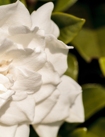 White gardenia blooms in a garden in spring in Naples, Florida