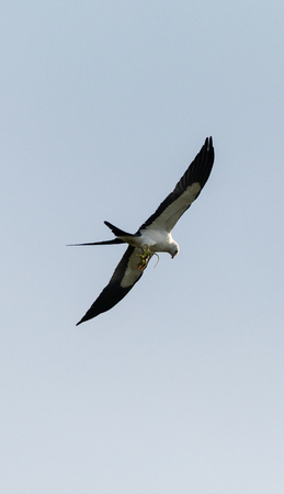 Flying swallow-tailed kite Elanoides forficatus with a Cuban knight anole in its clutches in Naples, Florida Reklamní fotografie