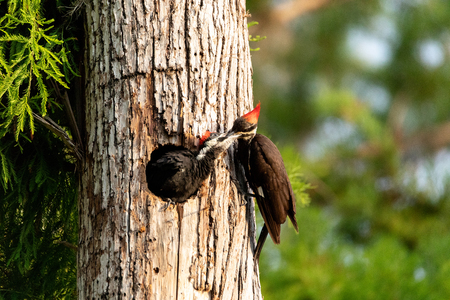 Adult pileated woodpecker Hylatomus pileatus feeds its chick as it peeks out of its nest hole in a Naples, Florida tree.