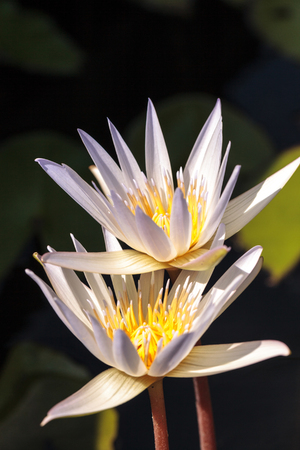 White water lily Nymphaea blooms in the Corkscrew Swamp Sanctuary in Naples, Florida