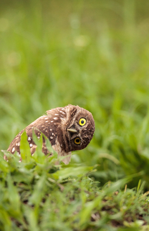 Funny Burrowing owl Athene cunicularia tilts its head outside its burrow on Marco Island, Florida 스톡 콘텐츠